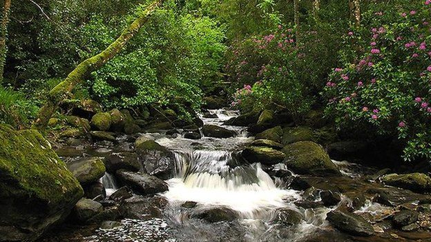 Wild rhododendrons surround Torc waterfall in Killarney National Park