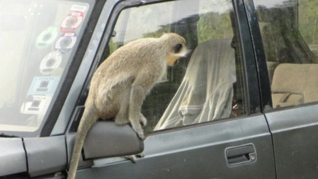 Un mono en un carro.