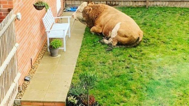 Bull in back garden