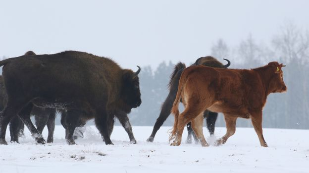 Cow among wild bison, Poland, January 2018