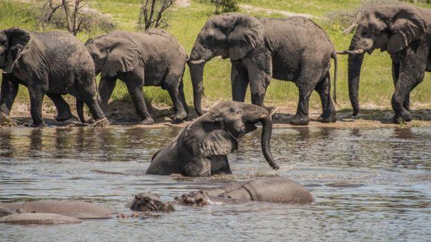 Male elephants socialising along the Boteti River