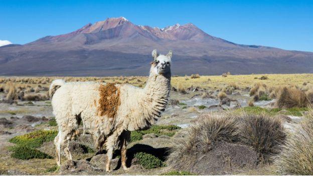 Llama en los Andes