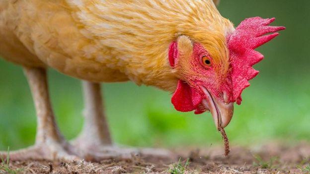 啄食草籽会用多大脑容量?