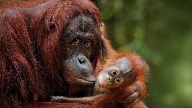 Une mère orang-outan avec son bébé, dans la nature