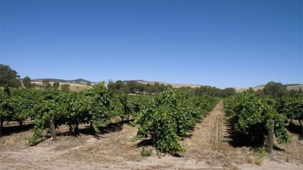 General view of a vineyard in the Barossa wine region, South Australia, Australia.