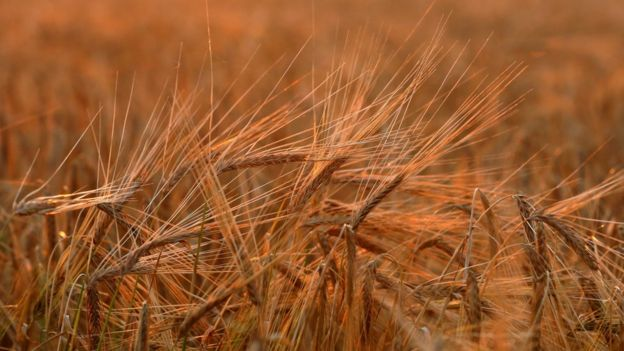 A view shows ears of barley during sunset in Krasnoyarsk Region