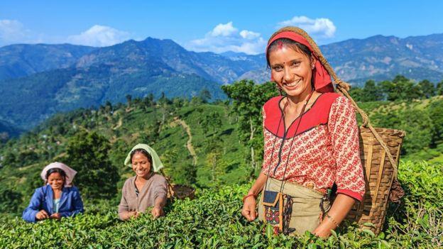 زراعات الشاي في دارجيلينغ