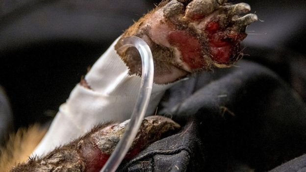 Coati com pata ferida no Pantanal
