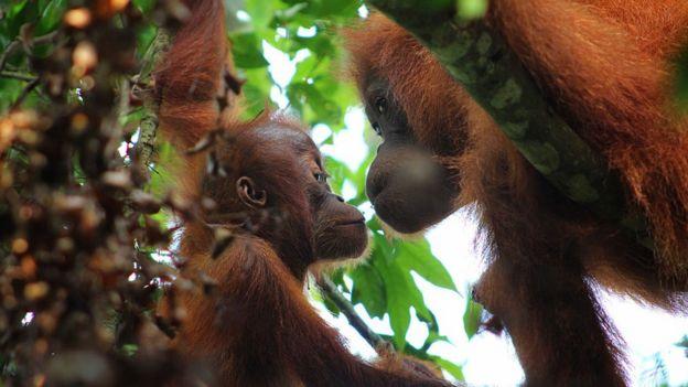Orangutan Sumatera ditangkap menikmati hari mereka di pohon-pohon Taman Nasional Gunung Leuser pada 18 Mei 2016 di Sumatera Utara