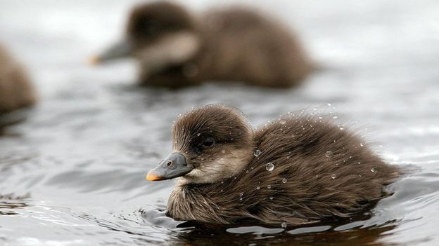 Common scoter ducklings