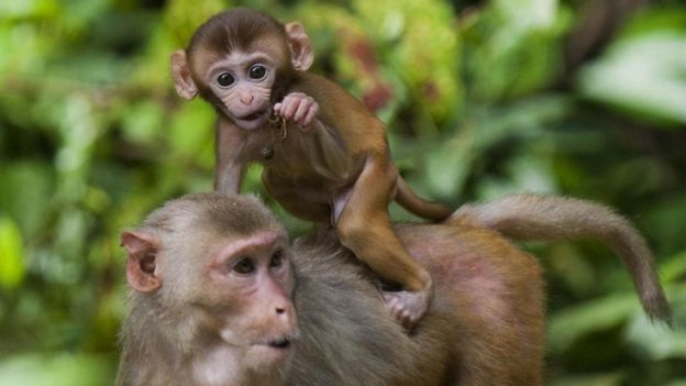 Rhesus maymunları