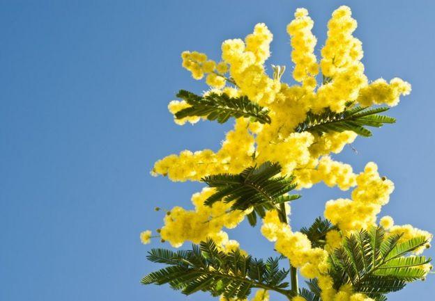 Acácia mimosa amarela