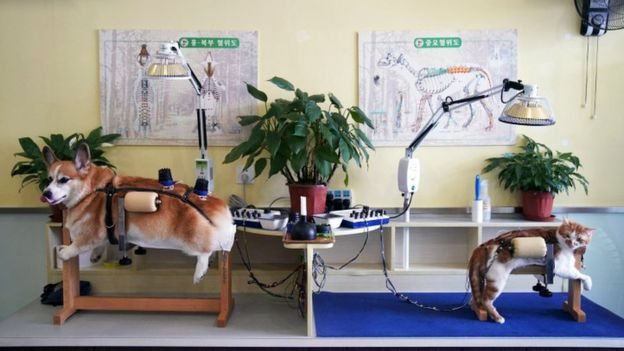 A corgi dog and a ginger cat are both held in harnesses during chinese accupuncture treatment