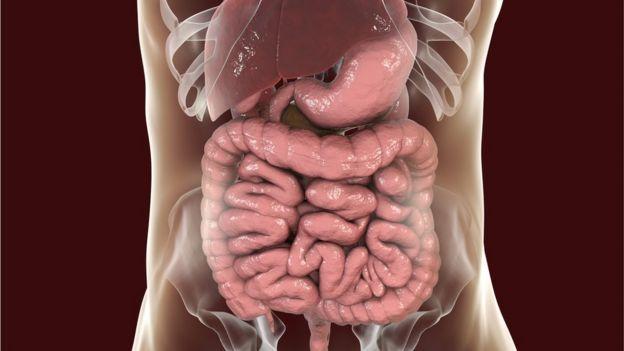 Ilustración del intestino y otros órganos humanos