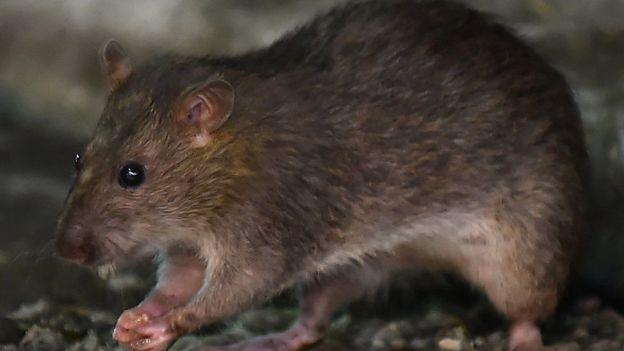 """Expertos consideran que las ratas son """"maestras de la adaptación""""."""