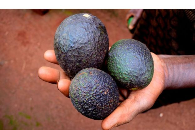 Three avocados held in a hand