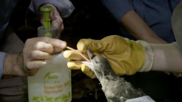 Wissenschaftler spülen Plastik aus dem Bauch eines Vogels auf Lord How Island