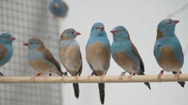 Cordon-bleu-de-cabeça-azul