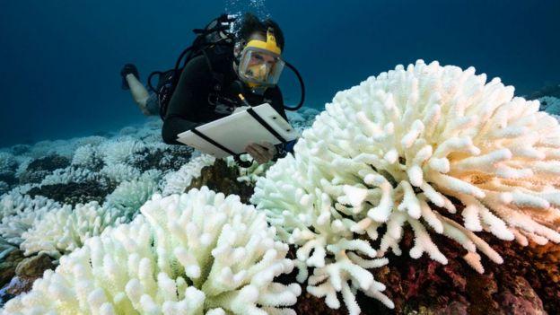 El blanqueo masivo de coral que se vio en la Gran Barrera de Coral de Australia entre 2016 y 2017 hizo que los corales jóvenes disminuyeran en un 89%.