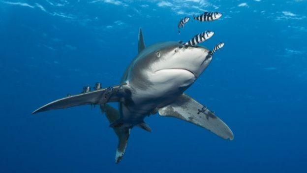 Tubarão nadando com peixes