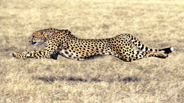 Cheetah is now running for its very survival BBC News