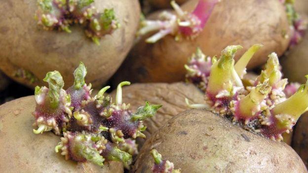patates filizleri