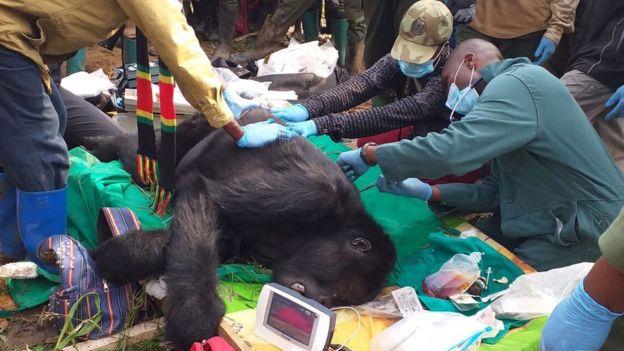 فريق بيطري في جمهورية الكونغو الديمقراطية يعالج غوريلا مريضة (قبل تفشي فيروس كورونا)