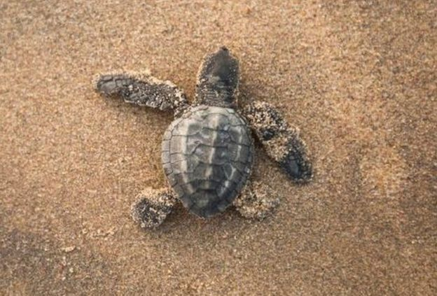 An Olive Ridley hatchling makes it way to the sea
