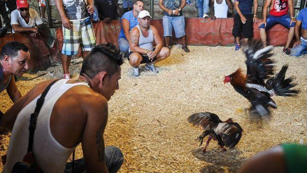 Pelea de gallos en Cuba.