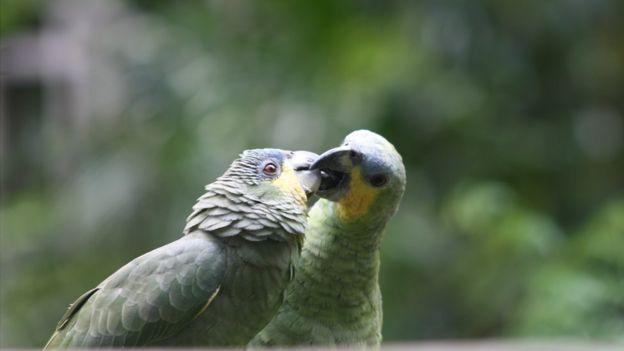 Papagaios em área protegida da Amazônia brasileira