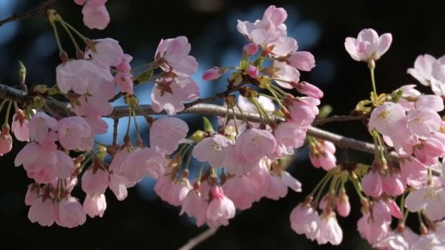 Cherry Blossoms Bloom Unexpectedly In Japan Bbc News