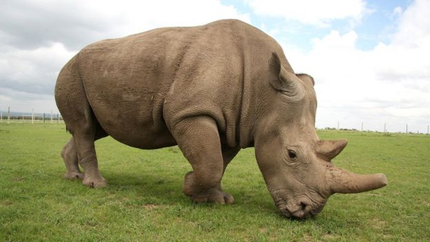 Fatu - hembra de la especie rinoceronte blanco del norte