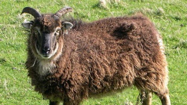 Ovelhas da raça Soay