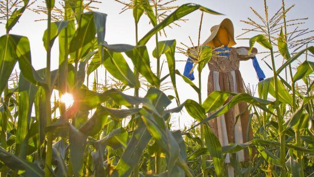 El maíz y los espantapájaros