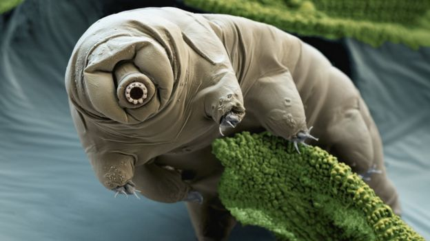 A coloured scanning electron micrograph of a tardigrade in moss