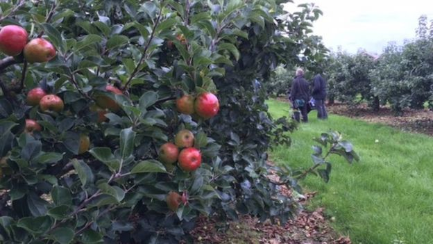 Armagh apples