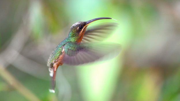 Ermitaño agitando las alas