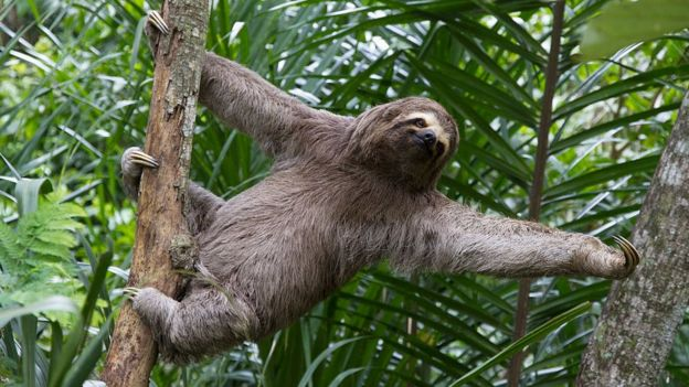 Brown-throated sloth on a tree in Bolivia