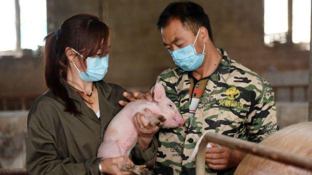 Новый вирус может передаваться от свиней к человеку