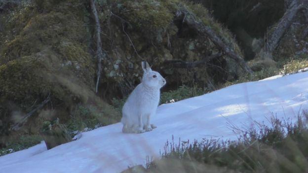 BBC 'urban bias' rap in mountain hare story