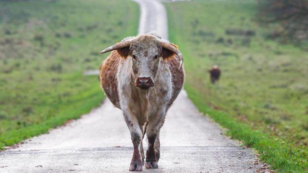 孕牛指數用土地能養育的孕牛數量衡量土地的價值