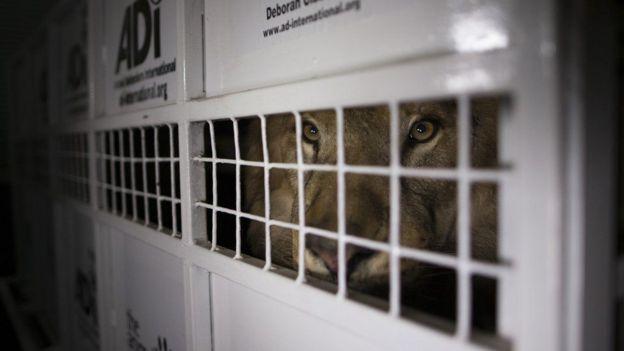 Trágico final de dos leones rescatados de circo en Perú — Sudáfrica