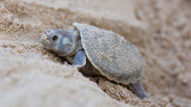 Filhote de tartaruga-da-amazônia, a 'Podocnemis expansa'