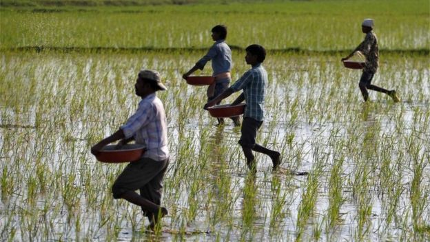 Farmers sprinkle fertilizers on a paddy field on the outskirts of Ahmedabad, India, February 1, 2017