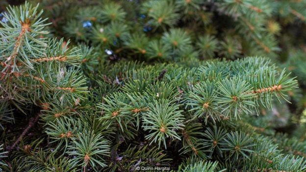 云杉针叶含有极其丰富的维生素C