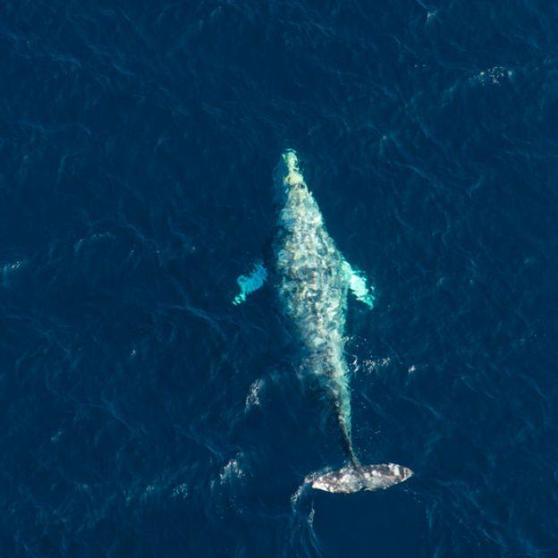 Ballena franca del Pacífico norte