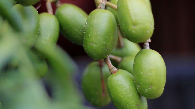 Cajás-manga na árvore