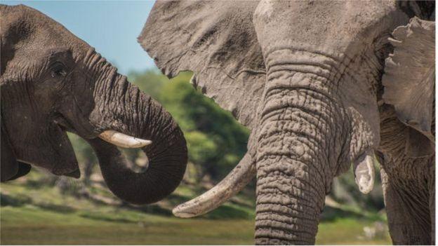 在the Makgadikgadi Pans国家公园,一头年轻雄象和一头年长公象在一起。