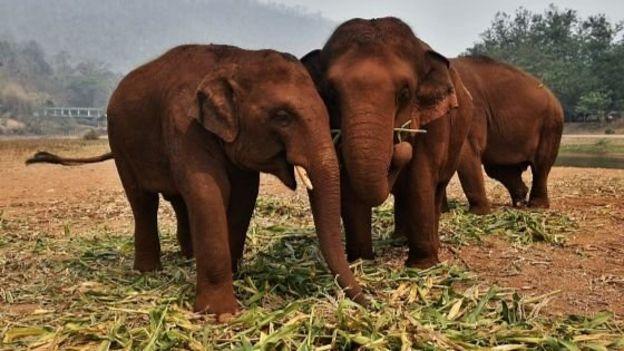 کرونا؛ فیلهایی که با رکود صنعت توریسم در تایلند گرسنه ماندهاند