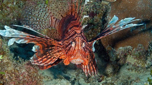 سمكة الأسد